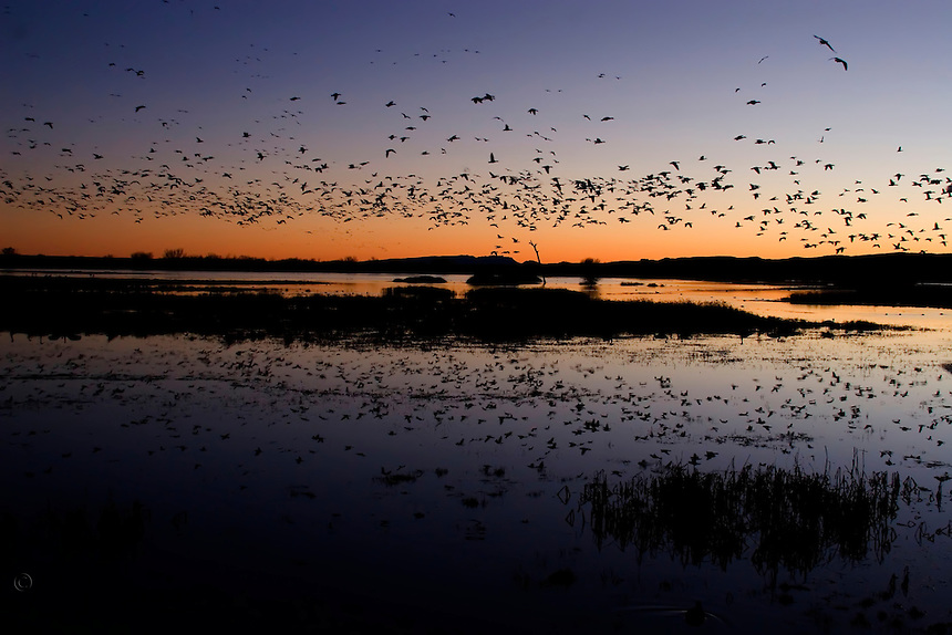 Snow geese returning for their evening roost. Bosque del Apache National Wildlife Refuge in southern Socorro County, New Mexico.