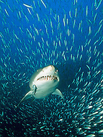 carcharias taurus, sand tiger shark, gray nurse shark, Sandtigerhai, North Carolina, USA, Atlantic Ocean