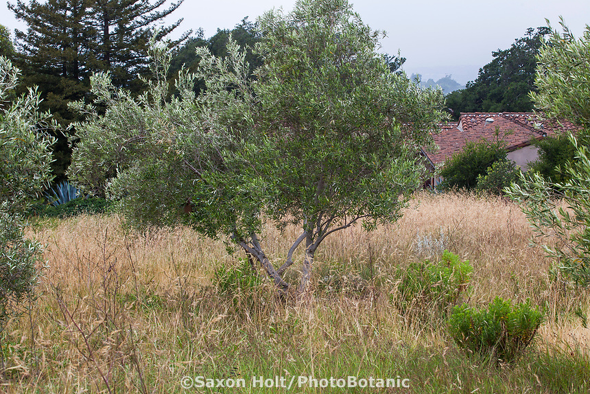 Olive tree in meadow of California purple needle grass, Nassella pulchra, summer-dry garden Santa Barbara California