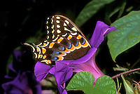 390490007 a captive spicebush swallowtail butterfly papilio troilus feeding on a purple flower in a southern california butterfly garden