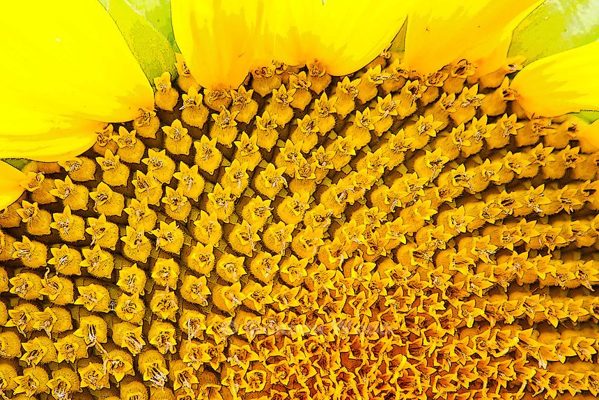 Sunflower closeup detail
