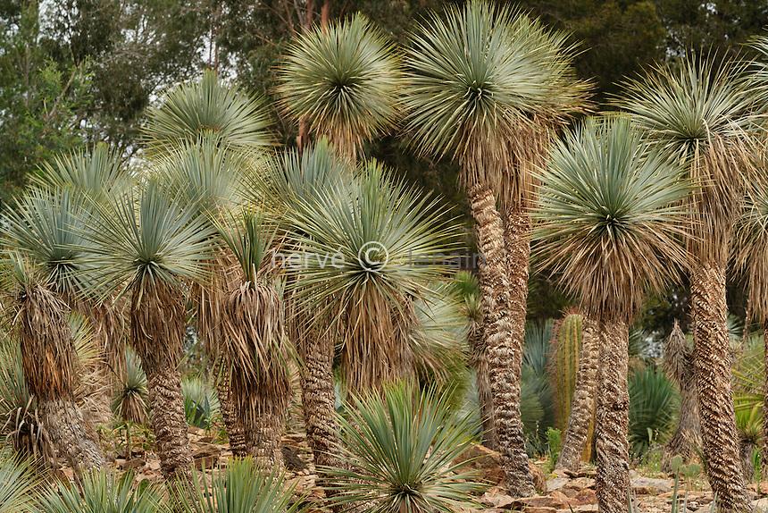 France, La Londe-les-Maures, jardin aux Oiseaux, groupe de Yucca rostrata.