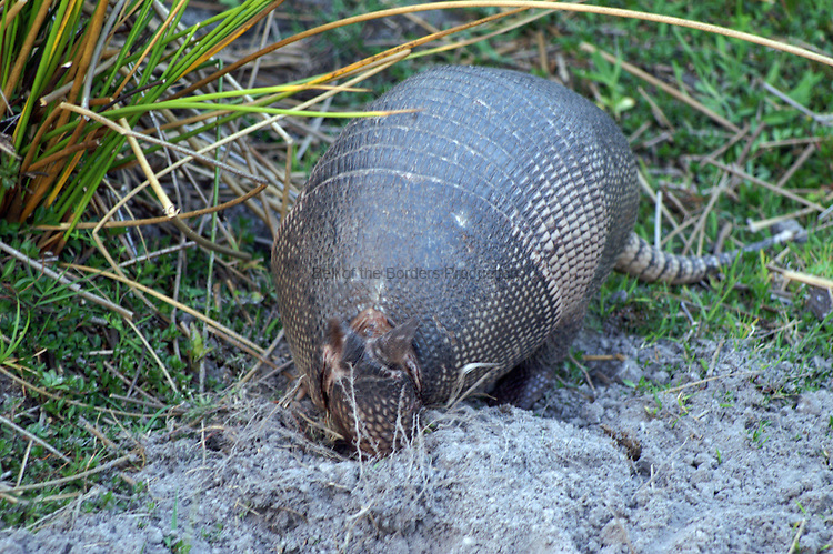 An armadillo digs a small hole looking for dinner.