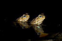 Two Marine Toads or Cane Toads (Bufo marinus) in pond at night with reflections, Playa Bluff Lodge, Panama