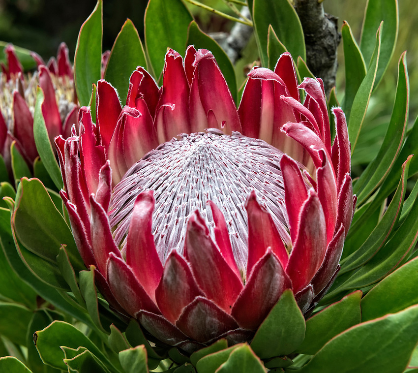 King protea seen at the Kula Botanical Garden on Maui