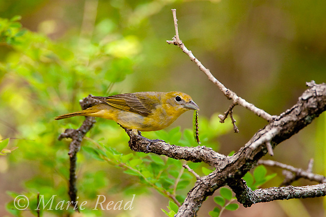 Summer Tanager (Piranga rubra) female holding food (caterpillar) in her bill, Wichita Mountains National Wildlife Refuge, Oklahoma, USA