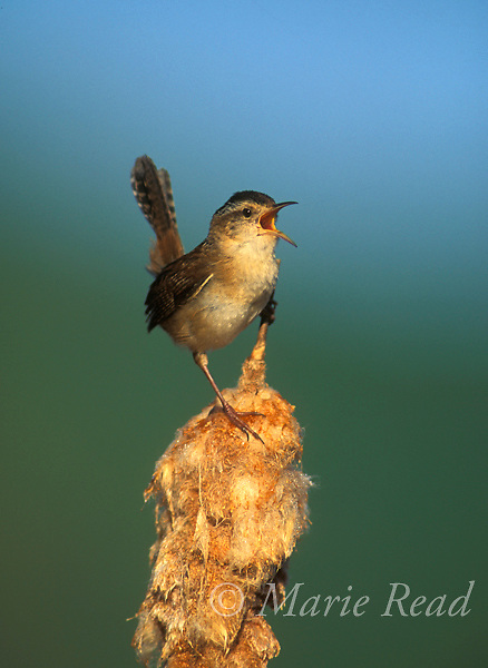 Marsh Wren (Cistothorus palustris) male singing atop a spent cattail seedhead, New York State, USA<br /> Slide # B143-381