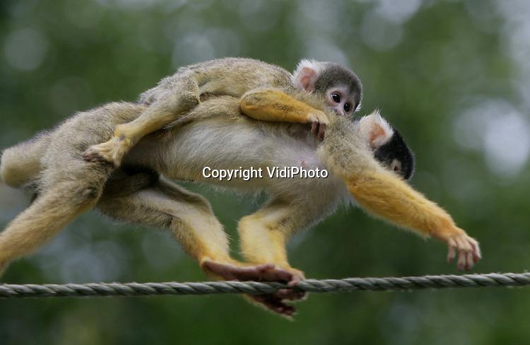 Foto: VidiPhoto..APELDOORN - Het Apeldoornse apenpark de Apenheul heeft zijn eigen record gebroken en heeft te maken met de grootste geboortegolf ooit. Door de geboorte van 31 baby's is de groep doodshoofdaapjes groter dan ooit tevoren. In totaal lopen, klimmen en ravotten er inmiddels 147 van deze aapjes vrij tussen de bezoekers. Nergens ter wereld leven er zoveel doodshoofdaapjes in een dierentuin samen.