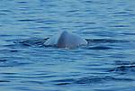 blue whale spine, blue whale dorsal