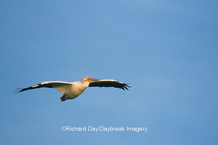 00671-00612 American White Pelican (Pelecanus erythrorhynchos) in flight Port Aransas Birding Center   TX