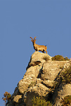 Adult male Spanish Ibex standing on top of rock face looking down. Andalucia, Spain. ( capra pyrenaica )