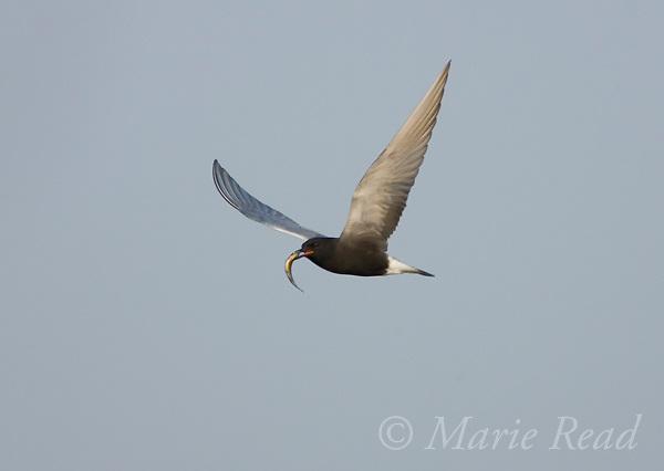 Black Tern (Chlidonias niger) in flight carrying a fish, Montezuma National Wildlife Refuge, New York, USA