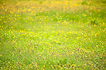 Flowering Meadow, Marden Meadow, Kent Wildlife Trust Reserve, UK