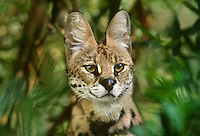 678059002 a captive serval felis serval studies its surroundings at a wildlife rescue facility species is native to africa