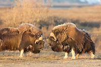 Bull muskox challenge each other by banging their horns, arctic coastal plain, Alaska.