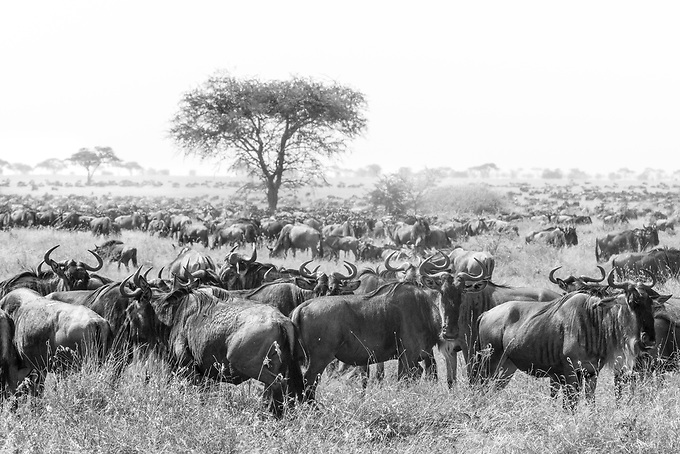 Wildebeast head north through the Serengetti towards Kenya in search of sustenance.