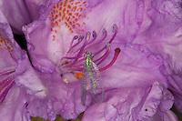 Perlige Florfliege, Grünes Perlenauge, Goldauge, Chrysopa cf. perla, auf der Blüte von Rhododendron, Blütenbesuch, pearly green lacewing, Chrysopidae, Florfliegen, Goldaugen