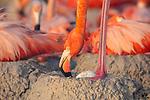 American Flamingo (Phoenicopterus ruber) standing over egg. Yucatan, Mexico.