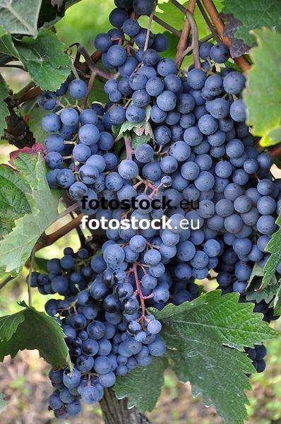 rote Weintrauben am Weinstock