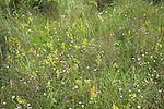 Meadow wildflowers, Suffolk landscape scenery, East Anglia, England