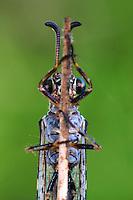 Geflecktflüglige Ameisenjungfer, Gefleckte Ameisenjungfer, Euroleon nostras, Le fourmilion parisien, Ameisenjungfern, Myrmeleontidae, antlion, antlions