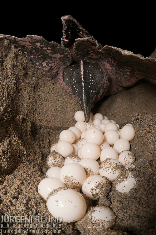 Leatherback turtle (Dermochelys coriacea) female laying her clutch of eggs.