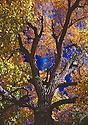 Fall Colors - Reno Oak