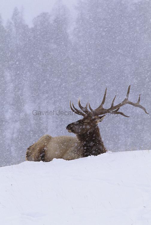 Elk (Cervus elaphus) in snow