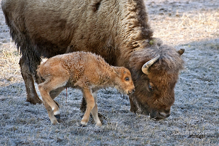 A recently born bison calf stays close to its mother on a cold and frosty spring day in Yellowstone National Park, Wyoming.  The calf's red umbilical cord is still visible between its legs.