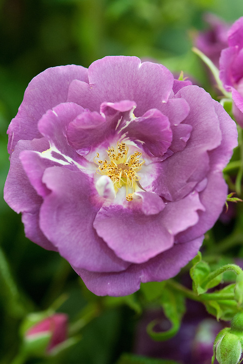 Rosa Rhapsody in Blue ('Frantasia'), early July. Bred in the UK in 1999 by Frank R. Cowlishaw.
