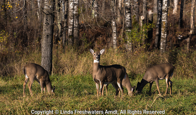 White-tailed deer feeding in a field in northern Wisconsin.
