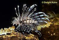 TP03-003z   Lionfish - Turkeyfish or Volitans - Pterois volitans