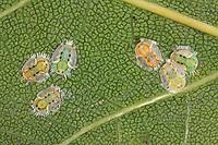 Eichen-Blattfloh, Eichenblattfloh, Larve, Larven, Trioza remota, oak leaf sucker, Blattflöhe, Blattfloh, Blattsauger, Psyllina, psyllid, psyllids