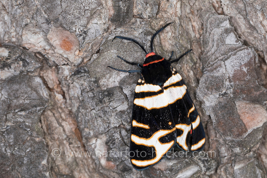 Englischer Bär, Arctia festiva, hebe tiger moth, L'Écaille rose, Bärenspinner, Arctiidae, Arctiinae, erebid moths, erebid moth, woolly bears, woolly worms