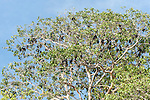 Papisoi, Indonesia; a large colony of great flying fox (Pteropus neohibernicus) roosting in the trees on a small island offshore of Papisoi, this species of megabat is among the largest bats in the world