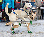 Two sled dogs feeling the excitement of the impending race at the ceremenial start of the 43rd Annual Iditarod in Anchorage, Alaska. The 1000 mile dog sled race usually restarts in Willow, Alaska, and finishes in Nome. Poor snowfall, however, forced the restart north to Fairbanks.