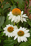 ECHINACEA PURPUREA 'POWWOW WHITE', PURPLE CONEFLOWER