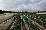 Palestinian children help farmers harvest strawberries from a field in Beit Lahia, in the northern Gaza Strip, on December 10, 2013. Some 250 acres of strawberry crop are cultivated in these fields yielding some 2500 tons of fruit, some of which will be exported to European countries, helping the stagnant economy of the enclave. Photo by Ashraf Amra