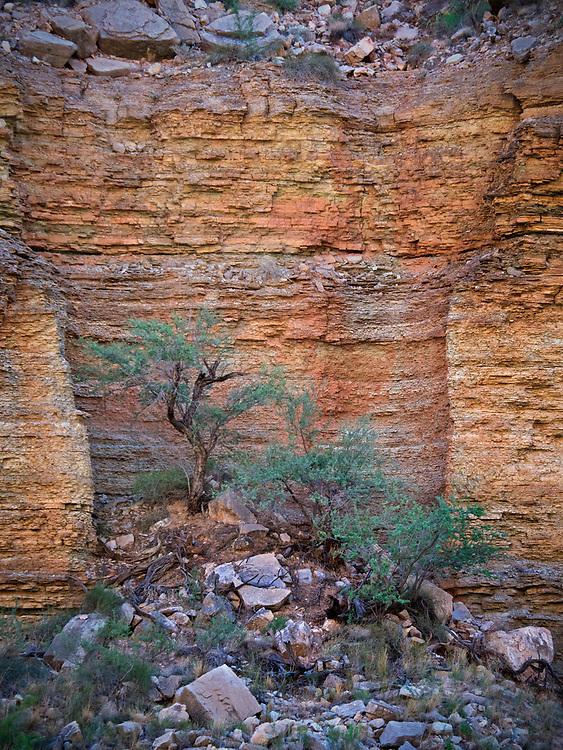 Western honey mesquite trees (Prosopis glandulosa) grow on a scree slope against the cliffs in the Grand Canyon in the Grand Canyon National Park, Arizona, USA