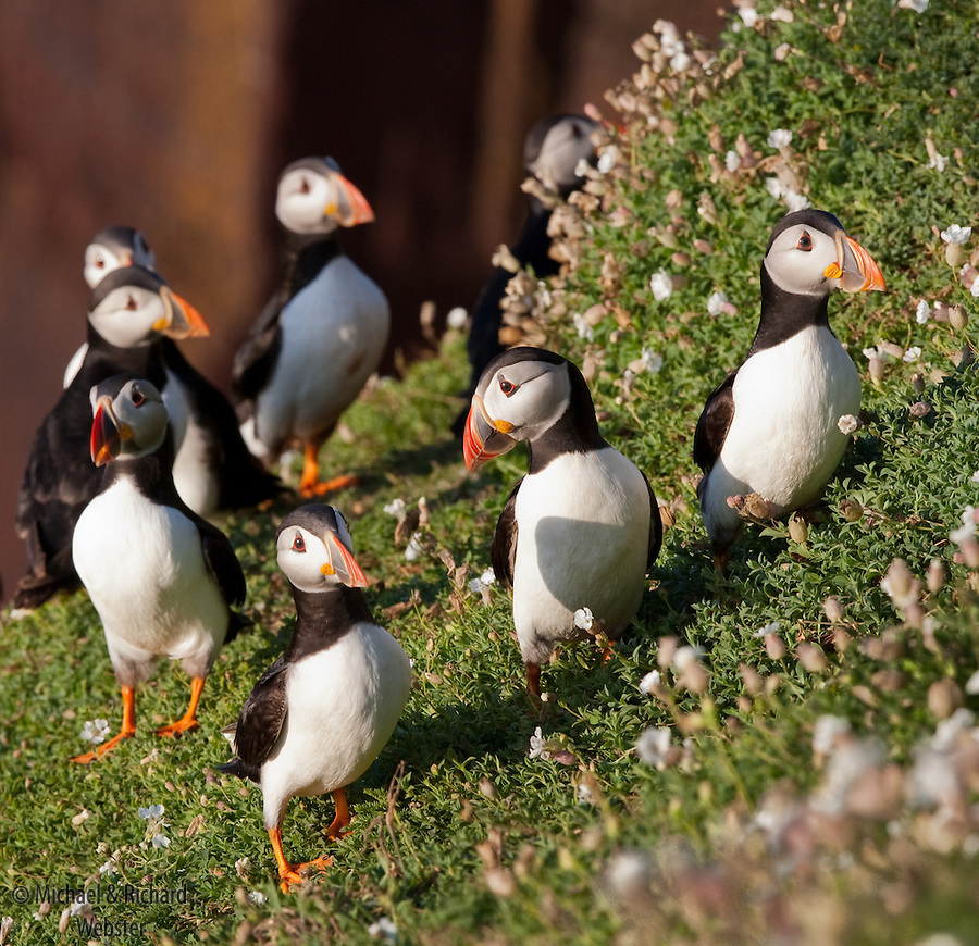 Puffins are very social and inquisitive birds during the breeding season.