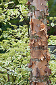 Peeling bark of river or black birch (Betula nigra) with foliage of wedding cake tree (Cornus controversa 'Variegata') in the background. The Wasteland Garden, designed by Kate Gould, RHS Chelsea Flower Show 2013.