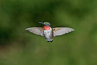 Ruby-throated Hummingbird (Archilochus colubris) adult males have a brilliant red throat and black chin, and often visit backyard gardens to feed.  Summer, Nova Scotia, Canada.