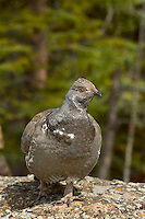 Male Blue Grouse or Dusky Grouse (Dendragapus obscurus) Rocky Mountains, spring.  Male grouse can be quite territorial and aggressive during the spring mating season.  This grouse patrolled a half block sized area around a trailhead and would peck at the hem of your pants.