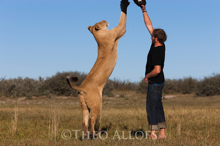 Botswana, Kalahari, Valentin Gruener  playing with a lioness; he raised her on a private reserve from a small dying cub to a healthy adult