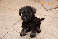 Schnauzer puppy in a farmhouse kitchen, Perth, Perthshire, Scotland.