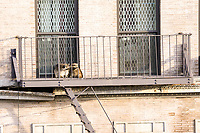 NOVA YORK, EUA, 12.01.2019 - CENA-EUA - Dois guaxinim são vistos em uma escada de emergencia de um prédio na Ilha de Manhattan em Nova York nos Estados Unidos neste sábado, 12. (Foto: William Volcov/Brazil Photo Press)