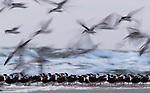 Black Skimmer (Rynchops niger) flock landing, Amelia Island, Florida