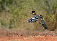 Greater Roadrunner (Geococcyx californianus), adult in flight, Rio Grande Valley, South Texas, Texas, USA