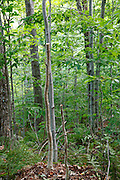 Two young trees that have been cut three feet off the ground (waist level) along the Mt Tecumseh Trail in the New Hampshire White Mountains in 2011. Proper brushing technique, per trail maintenance guidelines, is to cut young trees flush with the ground. Leaving pointed stumps are dangerous if stepped or fallen upon. If a hiker falls on these pointed stumps they could be injured.