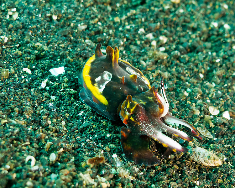 A flamboyant cuttlefish gives its warning display as the photographer approaches.